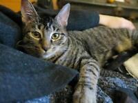 """Young Female Cat - Domestic Short Hair: """"Olivine"""""""