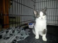 """Young Male Cat - Domestic Short Hair - gray and white: """"Pebbles"""""""