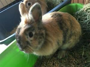 "Young Female Rabbit - Lionhead-Dwarf: ""Steph"""