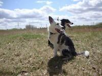 Female Dog - Border Collie-Australian Cattle Dog (Blue Heeler)