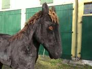 Pferd Lebensgroß