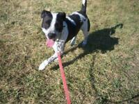 "Adult Male Dog - Border Collie-Pit Bull Terrier: ""Remington"""
