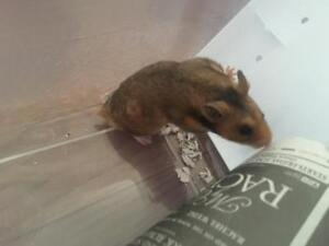 "Young Male Small & Furry - Hamster: ""Cliff"""