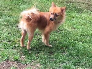 "Baby Female Dog - Chihuahua-Pomeranian: ""Lola"""