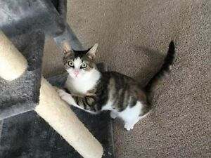 "Young Female Cat - Calico-Tabby: ""Amber"""