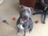 """Adult Male Dog - American Staffordshire Terrier: """"Gill"""""""