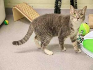 """Young Female Cat - Domestic Short Hair: """"BOBBLE"""""""