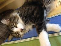 "Adult Male Cat - Domestic Long Hair: ""Gideon"""