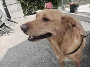 "Adult Male Dog - Labrador Retriever: ""Harley"""