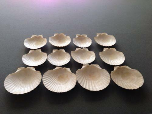 Baking Shells Ebay