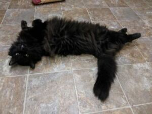 "Adult Male Cat - Domestic Long Hair: ""Robbie"""
