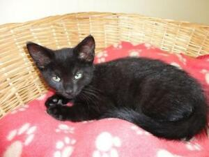 "Baby Male Cat - Domestic Short Hair-black: ""Monty"""