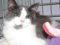 "Baby Male Cat - Domestic Medium Hair - gray and white: ""Trooper"""