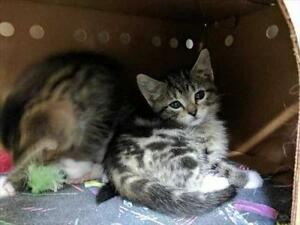 """Baby Male Cat - Domestic Short Hair: """"Chase"""""""