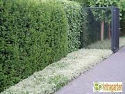 Heckenpflanzen Eibe