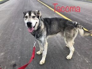 "Adult Male Dog - Husky: ""Tacoma"""