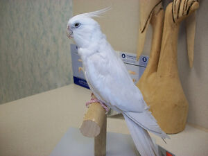 ❤❤ Extremely Friendly COCKATIEL Babies With CAGE ❤❤ Kitchener / Waterloo Kitchener Area image 5