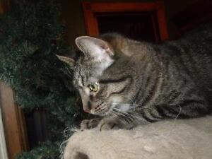 Adult Male  - Domestic Short Hair - brown-Tabby - Brown Cambridge Kitchener Area image 2