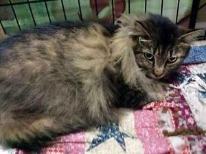 "Adult Female Cat - Domestic Long Hair-Tabby - Brown: ""Wobble"""