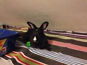 "Adult Male Rabbit - Bunny Rabbit: ""Charlie"""