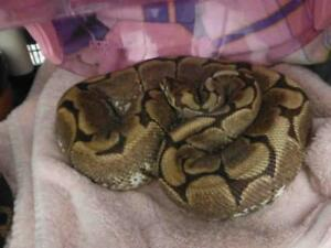 """Adult Female Scales, Fins & Other - Snake: """"JADE"""""""