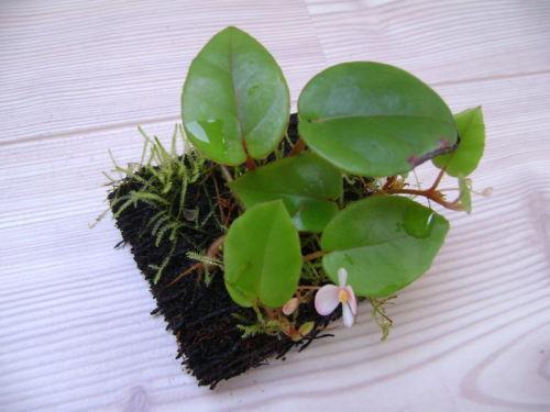 Begonia garten terrasse ebay - Begonie zimmerpflanze ...