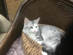 """Young Male Cat - Domestic Short Hair - gray and white: """"Max"""" West Island Greater Montréal image 1"""