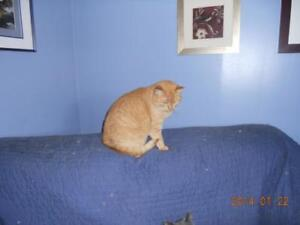 "Adult Female Cat - Domestic Short Hair: ""Beige"""