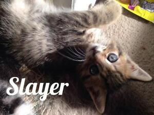 """Baby Male Cat - Tabby - Brown: """"Slayer"""""""