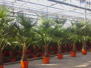 Palmier r sistant au froid 160 170cm trachycarpus fortunei palme ebay - Palmier resistant au froid ...