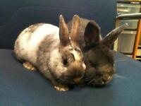 """Adult Male Rabbit - Dwarf-Bunny Rabbit: """"Alsace and France"""""""