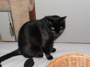 """Adult Female Cat - Domestic Short Hair: """"Lucy"""""""