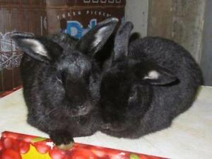 "Adult Female Rabbit - Bunny Rabbit: ""Dolly and Lamby"""