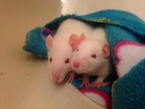 """Baby Female Small & Furry - Rat: """"Baby Rats"""""""