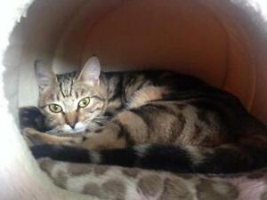 "Baby Male Cat - Tabby: ""Seashell"""