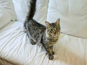 "Young Male Cat - Domestic Medium Hair: ""CLYDE"""