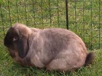 "Adult Female Rabbit - Lop Eared: ""Olivia"""