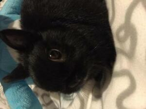 "Adult Male Rabbit - Netherland Dwarf: ""Pacman"""