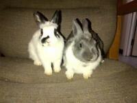 "Young Female Rabbit - Dwarf: ""Paris & Vegas (BONDED)"""