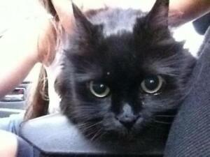 "Adult Female Cat - Domestic Long Hair (Black): ""Kitty"""