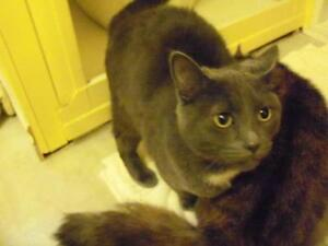 Young Male  - Domestic Short Hair-gray