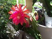 Epiphyllum Cuttings