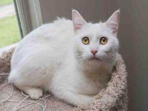 "Adult Female Cat - Domestic Short Hair: ""AMY"""