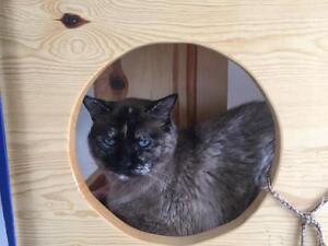 "Senior Female Cat - Dilute Tortoiseshell-Siamese: ""Suds"""