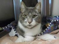 "Adult Male Cat - Domestic Short Hair - gray and white: ""Monkey"""
