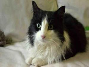 "Adult Female Cat - Domestic Medium Hair: ""CHECKERS"""