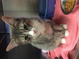 """Adult Male Cat - Domestic Short Hair - gray and white: """"Garth"""""""