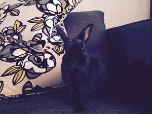 """Adult Female Rabbit - Netherland Dwarf: """"Dusty"""" Cambridge Kitchener Area image 3"""