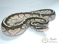 Some available Ball Pythons