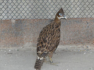 Wanted one female Impeyan pheasant
